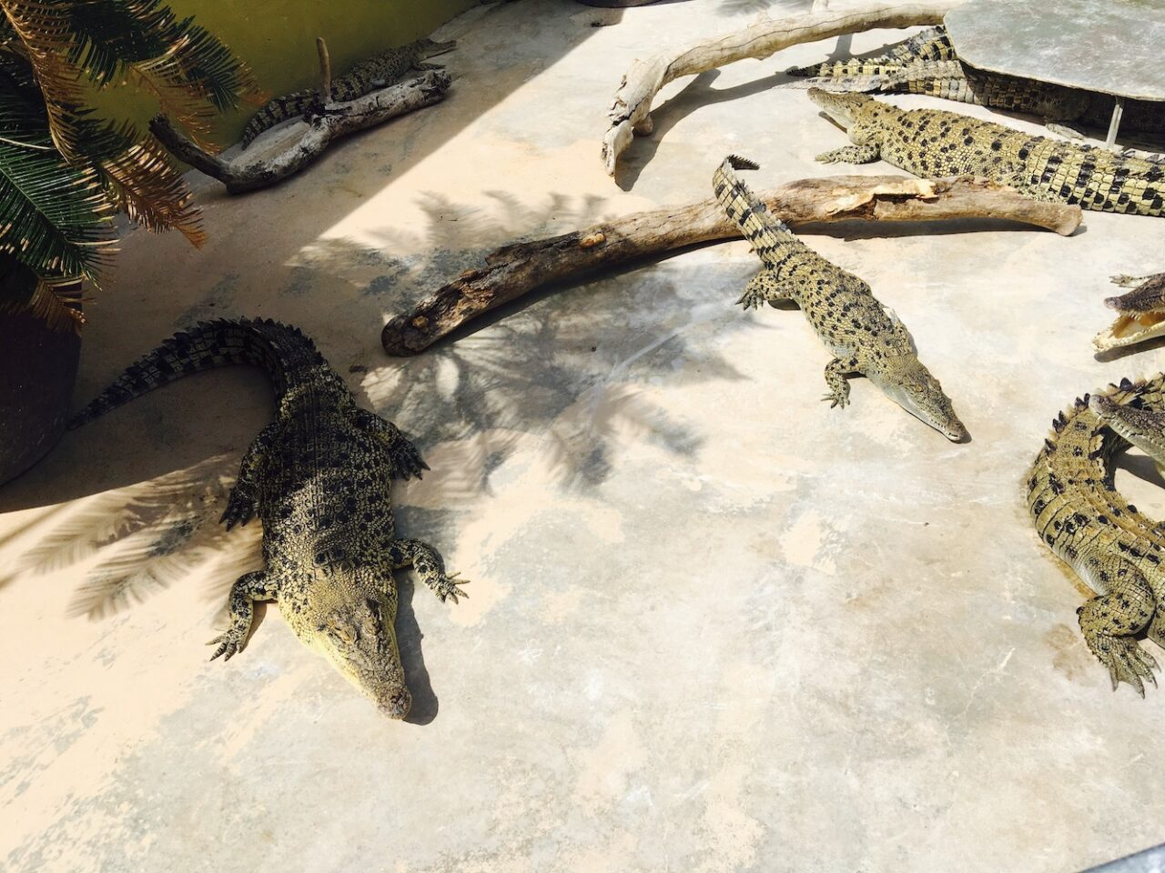 F – Crocodiles (2)