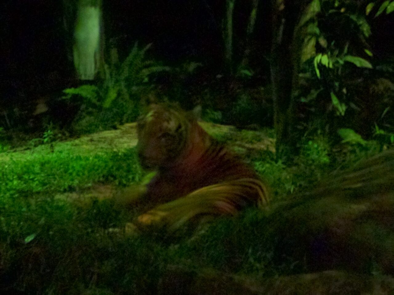 the cat says – you are my cake (night safari at the singapore zoo)