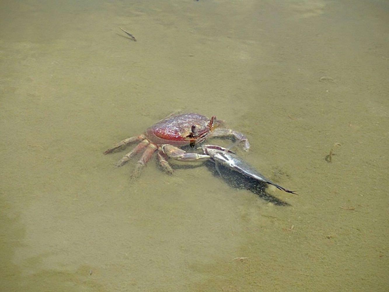 C – Even a crab caught a fish – impressive